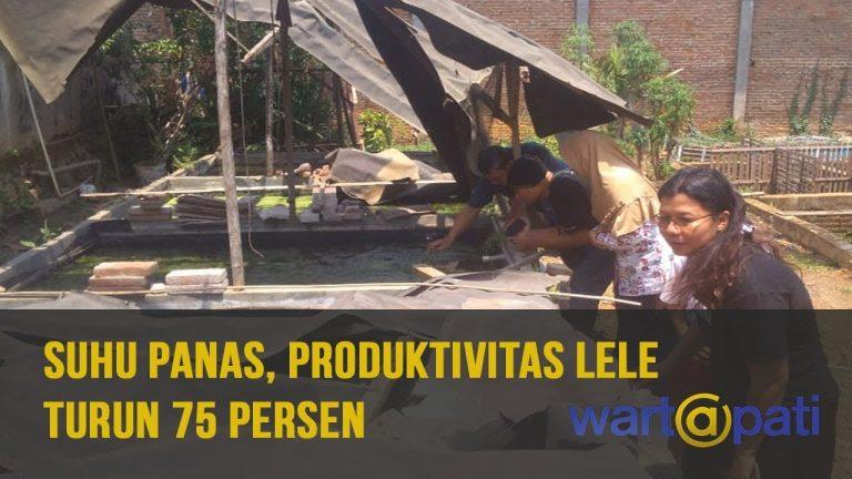 Suhu Panas, Produktivitas Lele Turun 75 Persen