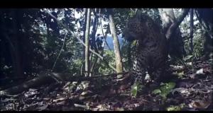 Berita pati macan jawa
